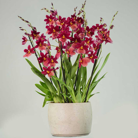 Nelly Isler Orchid