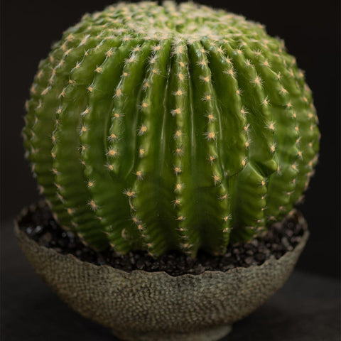 Barrel cactus in bronze textured container