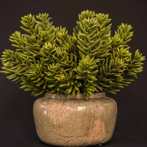 Green succulents arranged in ceramic antique-style container