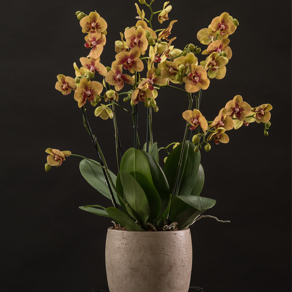 Signature Orchids - Golden yellow