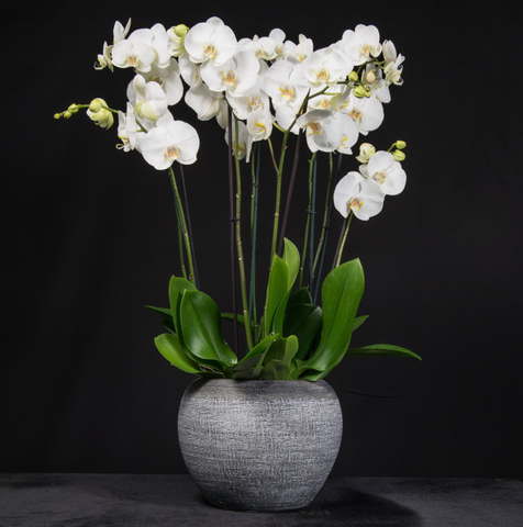 Signature Orchid Arrangement