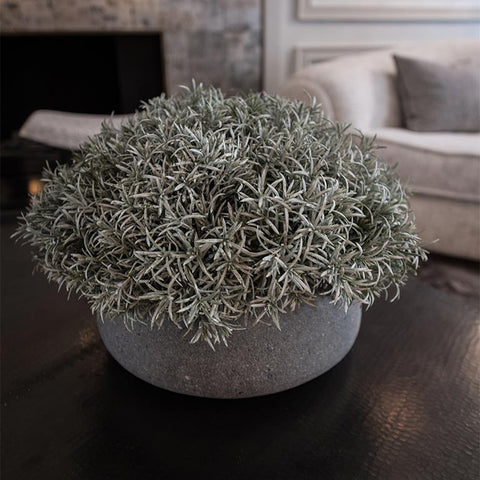 Silver rosemary bush in brushed charcoal ceramic container