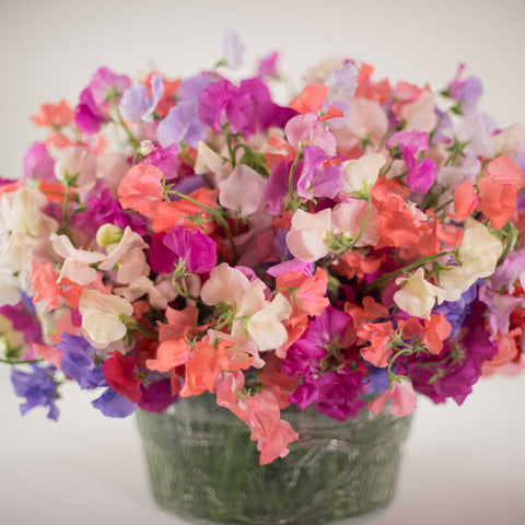 Vibrant Sweet pea Mix