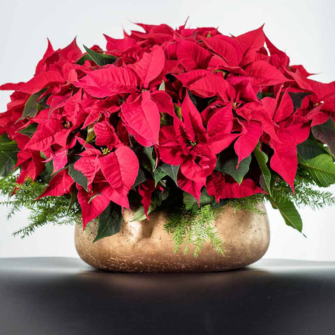 Planted Red Poinsettias