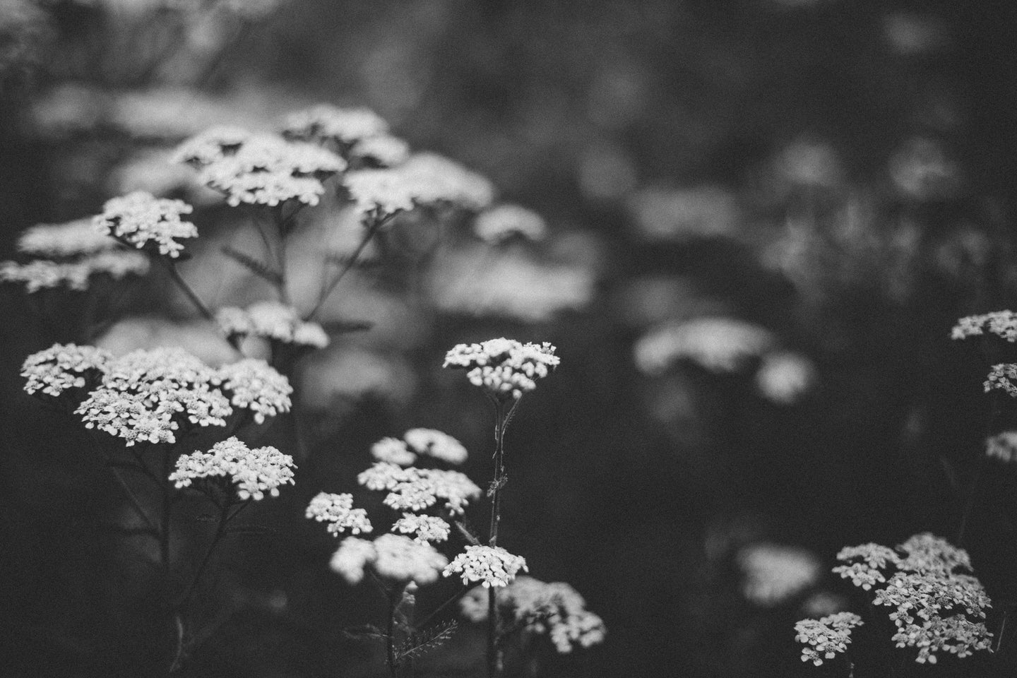 Yarrow (black & white)