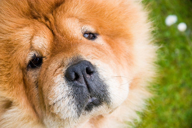 Dogs That Look Like Bears: The Best, Biggest & Cuddliest Dog