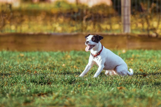 happy jack russell dog