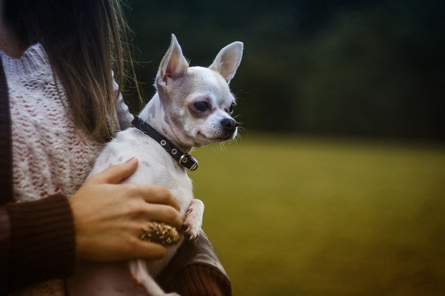 little dog being held by owner