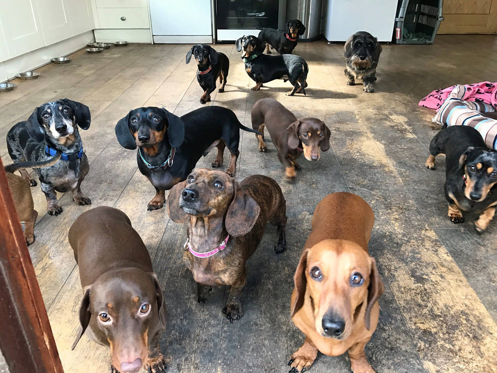 Image of: Miniature Dachshund In No Time At All Phil Had Established Strong Base Of Regulars Who Love Returning Time And Time Again To The Sausage Dog Hotel And They Never Struggle Swns Welcome To The Sausage Dog Hotel Snoozer Uk
