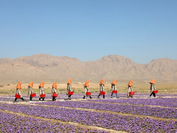 2020 Saffron Harvest in Herat