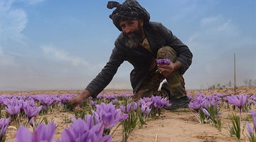Fall Saffron Harvest