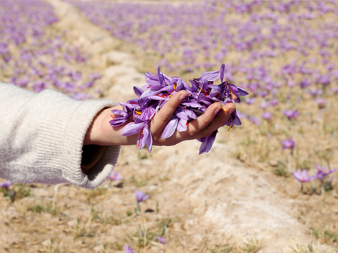 holding rumi spice saffron flowers in hand