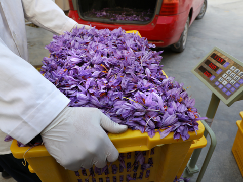 basket of saffron flowers outside processing center in Herat