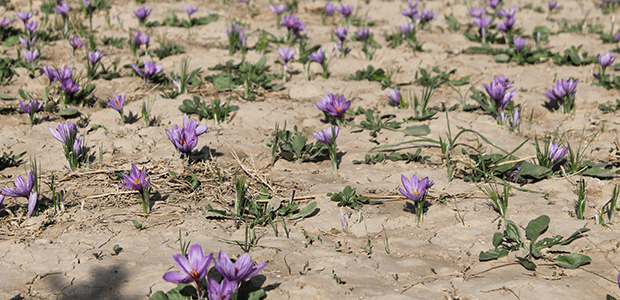 worlds best saffron field crocus sativus