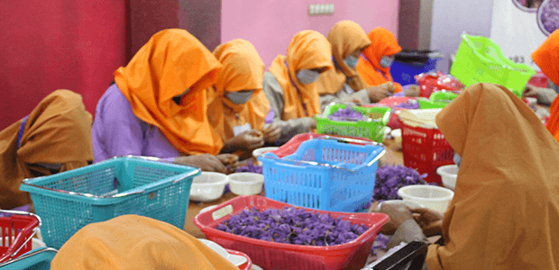 women processing saffron maintaining the best quality saffron standards