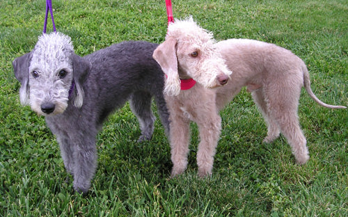 Bedlington_Terriers