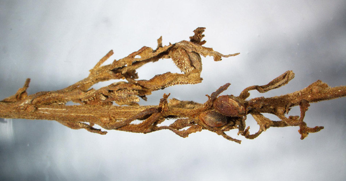 Detail of ancient cannabis found in tomb
