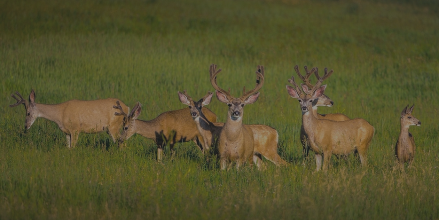 Benefits of Deer Velvet for Joint Mobility