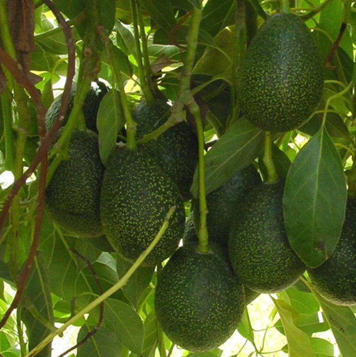 Avocado Trees