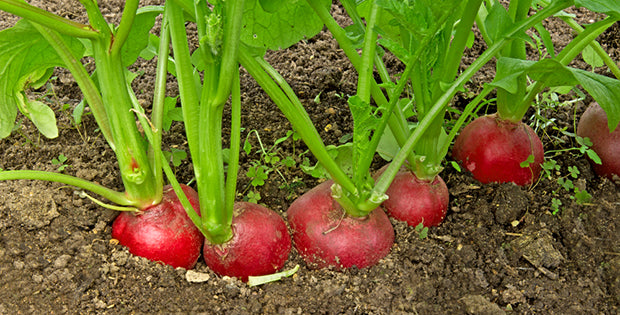 row of radishes in dirt
