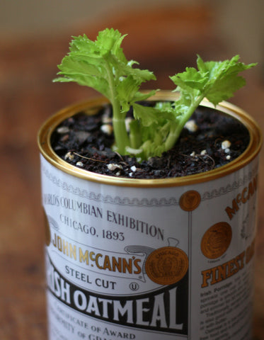 grow-celery-at-home