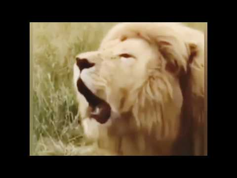 World's First Singing Lion 🎥