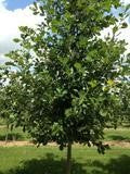 Heritage Oak For Sale | Shop Stuart's