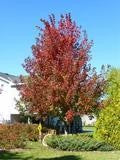 Matador Maple For Sale | Shop Stuart's