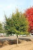 Rugged Ridge Maple For Sale | Shop Stuart's