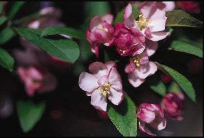 Crabapple Coralburst flower Photo courtesy Bailey Nurseries, Inc
