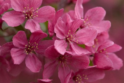 Crabapple Prairifire flowers photo courtesy of Bailey Nurseries