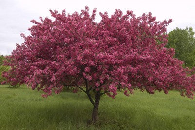 Crabapple Prairifire Photo courtesy of Bailey Nurseries