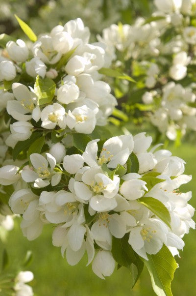Crabapple Spring Snow flowers