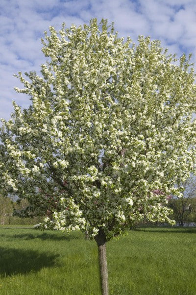 Crabapple Spring Snow, 7 gallon