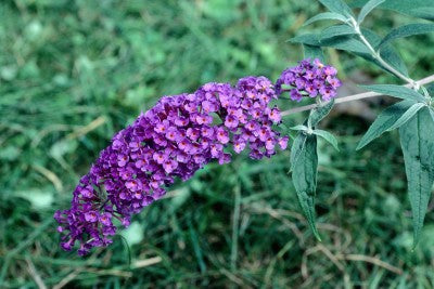 Buddleja davidii 'Black Knight' photo courtesy of Bailey Nurseries