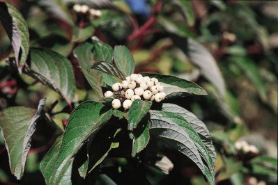 Dogwood Red Twig white berries photo courtesy from Bailey Nurseries