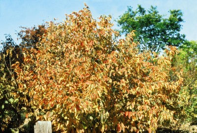 American hazelnut fall foliage photo courtesy of Bailey Nurseries