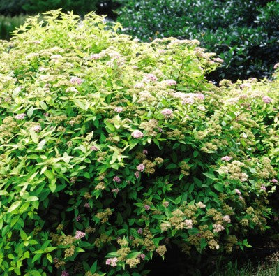 Spirea Goldmound photo courtesy of Bailey Nurseries