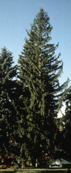 Norway spruce photo courtesy of Bailey Nurseries