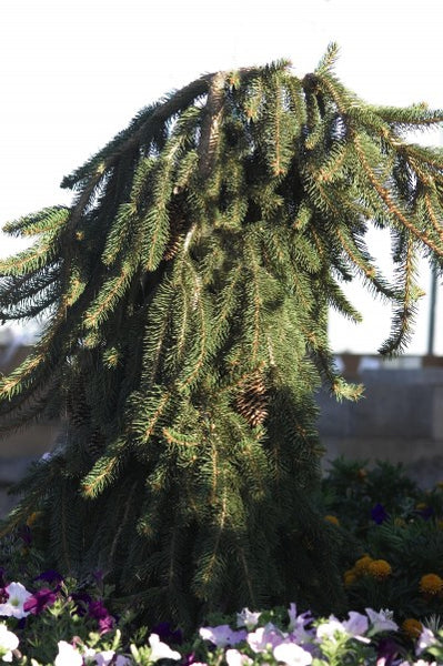 Spruce Norway Weeping photo courtesy of Bailey Nurseries