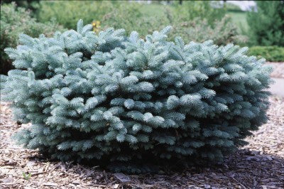 Spruce Globe Blue Low Graft photo courtesy of Bailey Nurseries