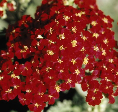 yarrow-paprika photo courtesy of Bailey Nurseries