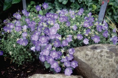 Campanula-Blue clips photo courtesy of Bailey Nurseries