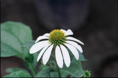 Echinacea-Coneflower 'White Swan' Photo courtesy of Bailey Nurseries, Inc