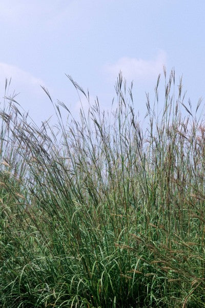 Grass-Big Bluestem Photo courtesy Bailey Nurseries, In