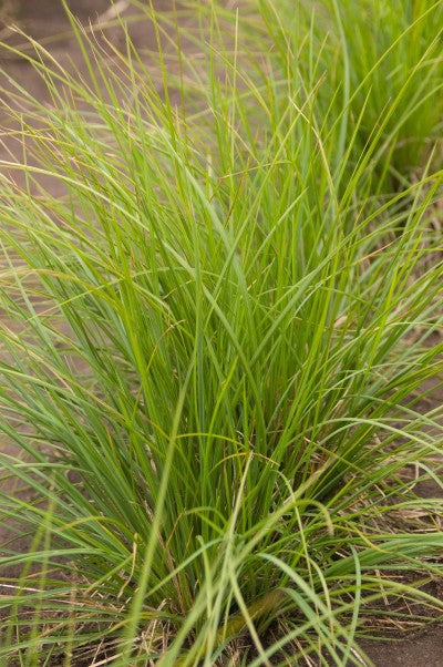 Sesleria autumnalis 'Autumn Moor' photo courtesy of Bailey Nurseries