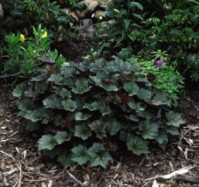 "Heuchera-Coral bells ""Palace Purple"",1gallon"