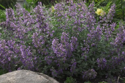 Nepeta Walkers Low photo courtesy of Bailey Nurseries