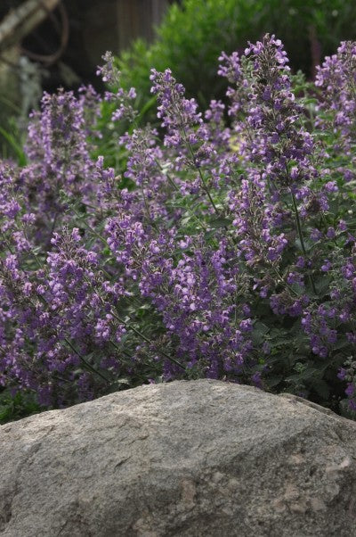 Nepeta 'Walker's Low', 1 gallon