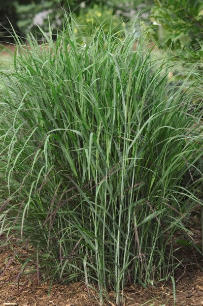 Grass-Panicum virgatum 'Shenandoah' Photo courtesy of Bailey Nurseries